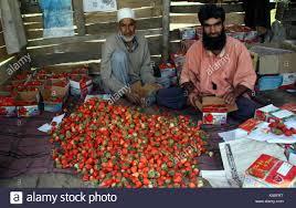 sending fruit kashmiri strawberry growers in indian kashmir packing the fruit