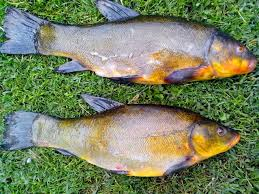 Freshwater Fish Free Picture Tench Fish Animal Freshwater Fish