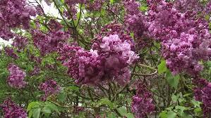 Fragrant Flowers Lilac Syringa Vulgaris Paul Deschanel Close Up A Spreading