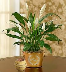 peace plant shimmering peace plant shimmering peace plant with comfort