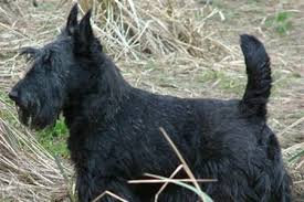 scottish yerrier haircuts scottish terrier appearance grooming