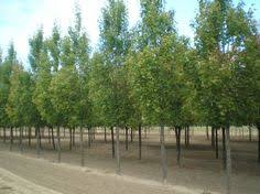 sunburst honeylocust trees cultivar without thorns or seedpods
