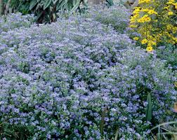 Flowering Shrubs New England - english countryside new england aster monrovia english