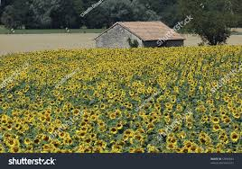french countryside old house field sunflowers french countryside stock photo 12056833