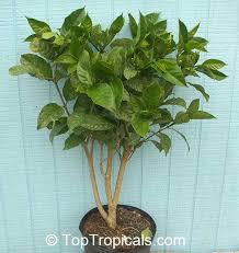 Fragrant Plants Florida - toptropicals com rare plants for home and garden