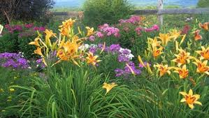 day lilies daylilies one of the easiest perennials to grow your easy garden