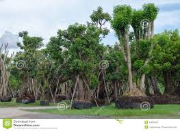 big trees for sale stock image image of commercial 33460259