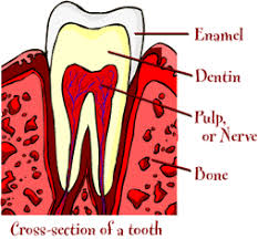 Parts Of A Tissue Parts Of A Tooth Healthy Teeth Family Dental Care