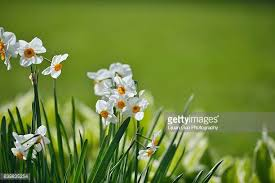 paperwhite flowers paperwhite narcissus stock photos and pictures getty images