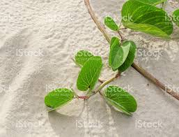 goats foot creeper or beach morning glory stock photo 515259275