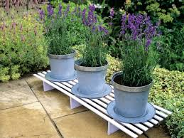 how to bring a dead plant back to life lavender trees hgtv