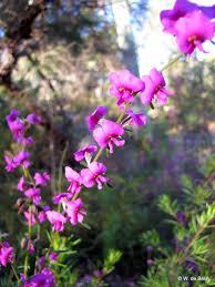 native plants sydney sydney u0027s wildflowers and native plants mirbelia speciosa purple
