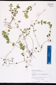 Lake Mary Florida Map by Clinopodium Brownei Species Page Isb Atlas Of Florida Plants