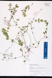Sanford Florida Map Clinopodium Brownei Species Page Isb Atlas Of Florida Plants