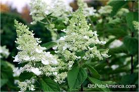 hydrangea white white diamonds hydrangea growing and caring tips gopetsamerica