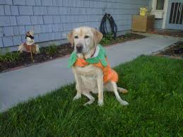 100 Halloween Dog Costume Ideas 100 Pet Halloween Costumes Large Dogs 61 Awesome Minute