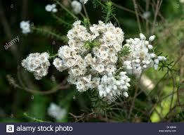 native australian flowering plants cluster of white flowers of ozothamnus diosmifolius riceflowers
