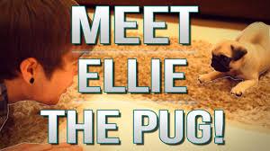 tdm vlogs meet ellie the pug episode 17 youtube