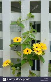black eyed susan vine or thunbergia flowers climbing a white