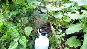 how to use peppermint oil spray in your garden cucumbers u0026 squash