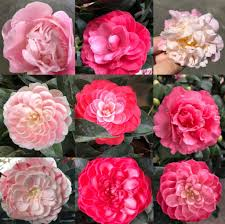 camellia flowers toh garden singapore orchid plant flower grower