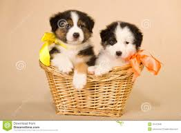 sheltie x australian shepherd australian shepherd puppies in basket royalty free stock photos