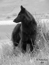 belgian sheepdog intelligence belgian sheepdog dog breeds pinterest animals dogs and search