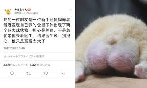 hamster s big balls cause of much hilarity what s on weibo