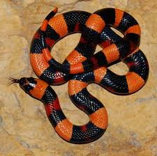 halloween snake europe lampropeltis pantherophis heterodon reptile forums
