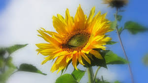 sunflower wallpapers flowers sunflower summer harvest bluesky yellow flower decoration