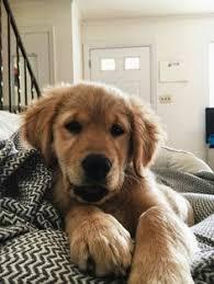 Comfort Retriever Puppies For Sale Miniature Golden Retriever Puppies For Sale Goldenquest Comfort