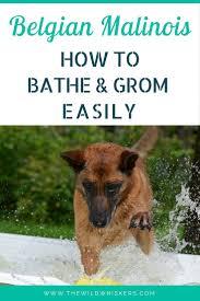 belgian shepherd skin problems belgian malinois bathing and grooming 101 the wild whiskers