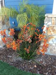 my kangaroo paw u0027bush tango u0027 have been blooming all year