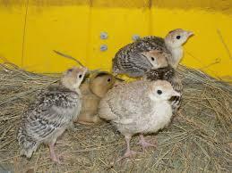 turkey poults ferrebeekeeper