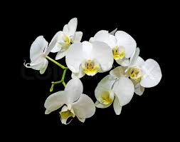 white orchids blooming white orchids on a black background stock photo colourbox