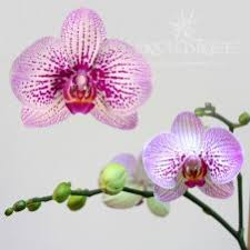 orchid plants for sale we sell a to z varieties of orchid plants online orchid tree