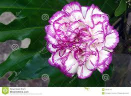 Purple Carnations Carnations Stock Photo Image 35070110