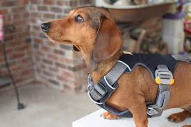 10 signs you have a dachshund
