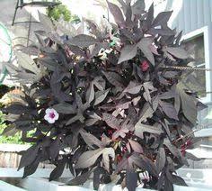 ornamental sweet potato vine tender perennial plants sun