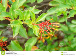 native florida plants closeup of firebush shrub in florida stock photo image 55685649
