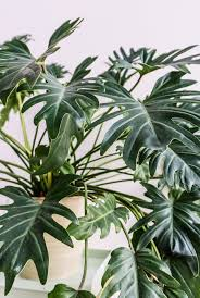 close up of philodendron xanadu on sitsitso com indoor plants