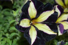 petunia flowers petunia black velvet plant flower stock photography