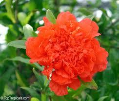 punica granatum pomegranate toptropicals
