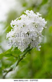 Tree With Little White Flowers - many white small flowers in stock photos u0026 many white small