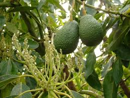 growing avocados flowering pollination and fruit set