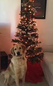 merry christmas from leo sharptail ridge golden retrievers