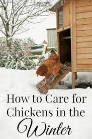 Chickens For Eggs In Backyard 15 Chicken Keeping Mistakes To Avoid Backyard Farming And Coops
