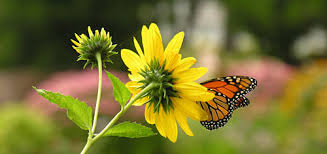 saving the monarch butterfly monarchs monarch habitat