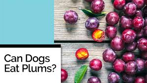 can dogs eat plums pawculture