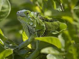 imágenes de iguanas verdes las iguanas verdes respiran como las aves